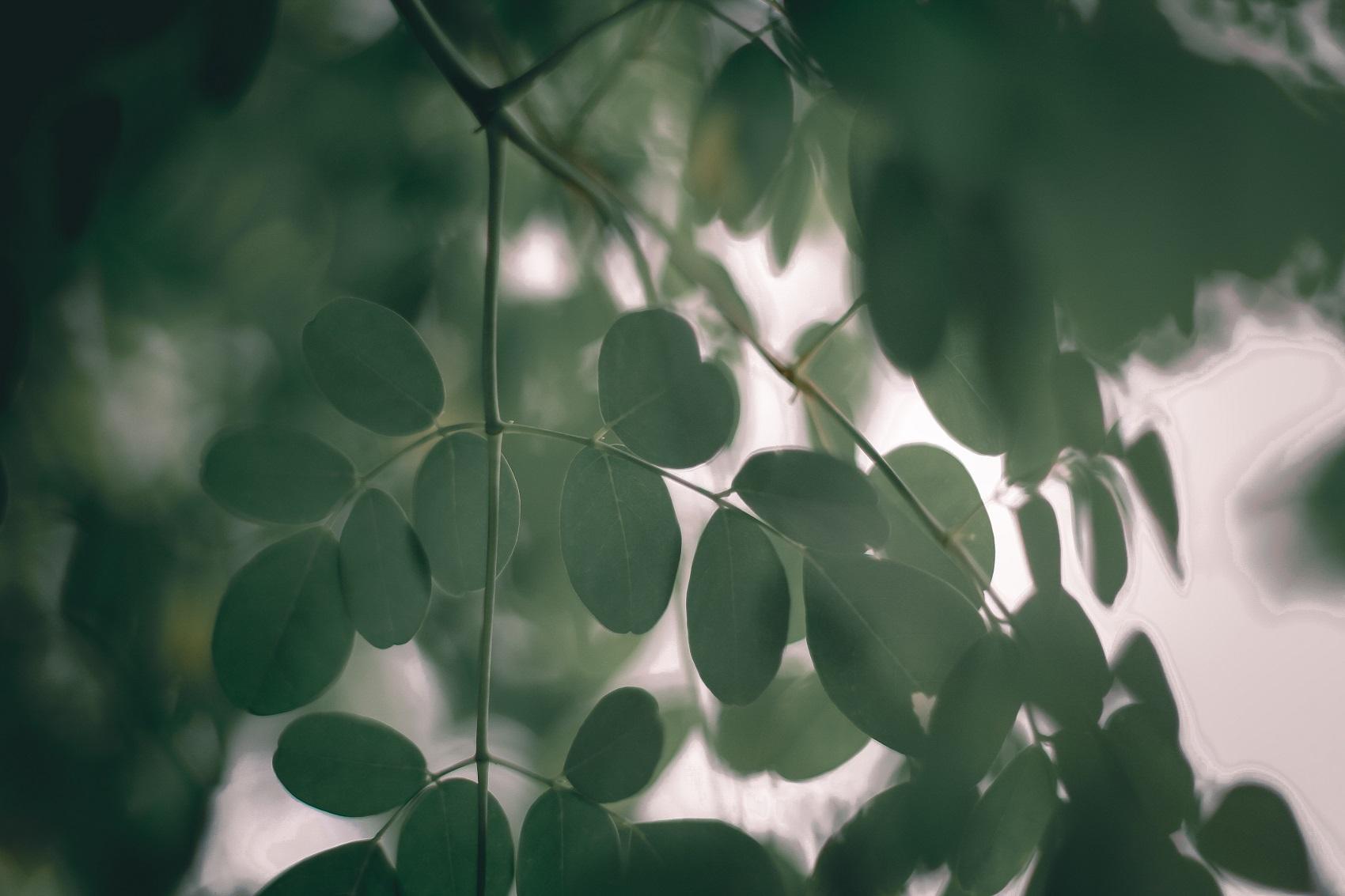 Moringa: alla scoperta della  delle sue mille proprietà