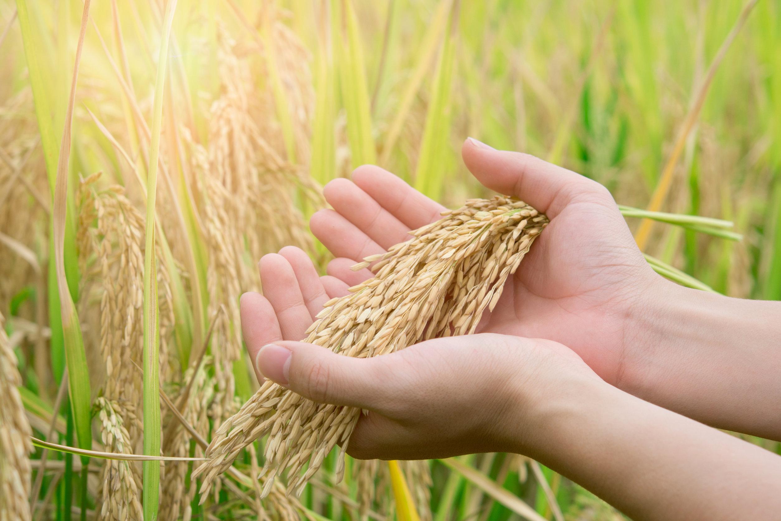 Il riso, un cereale sano e dai mille utilizzi