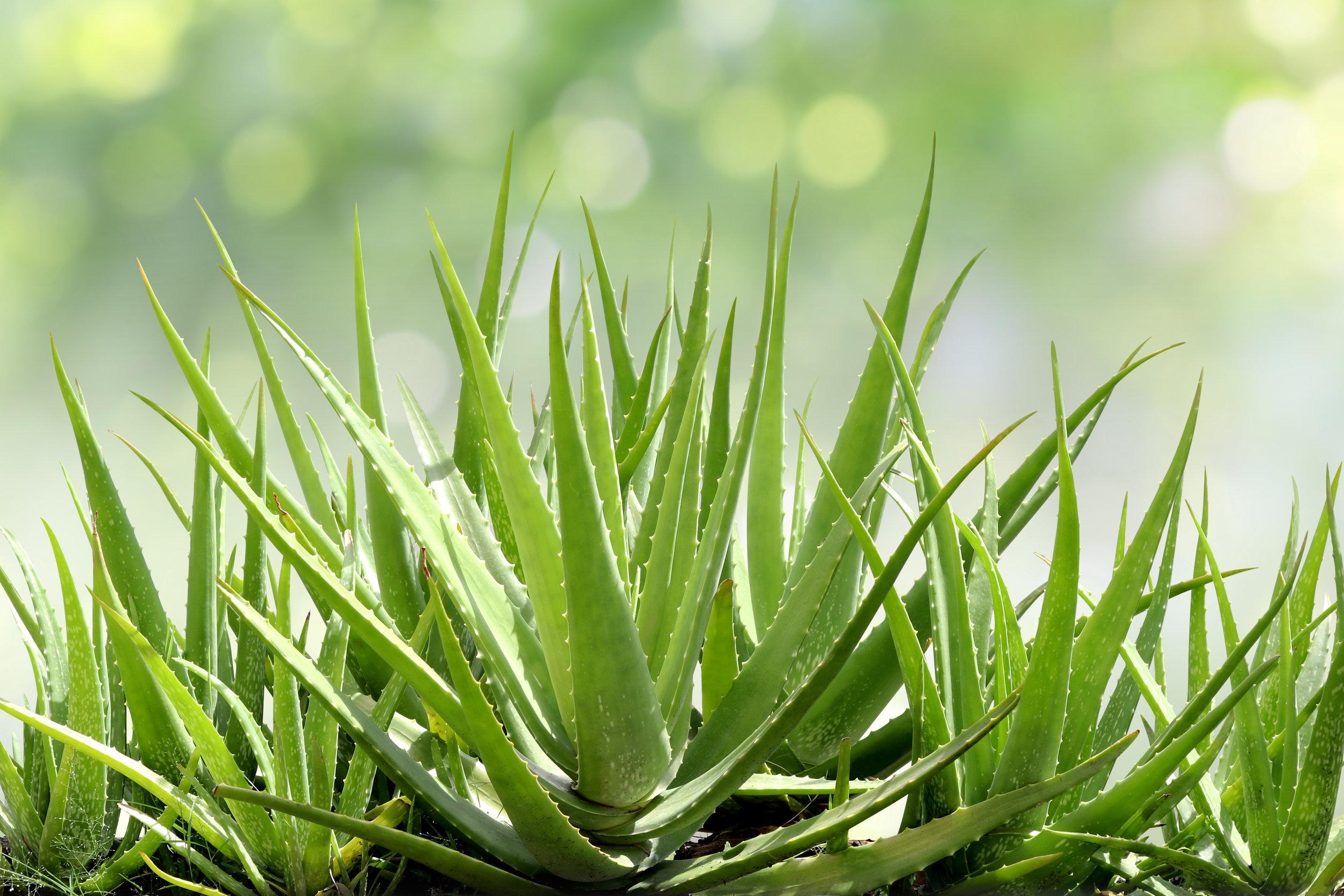 L'Aloe Vera, una pianta dalle numerose proprietà